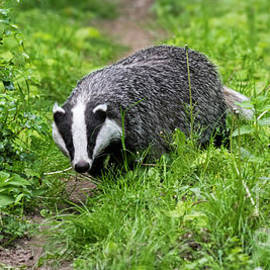 Badger by Arterra Picture Library