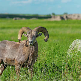 Badlands Bighorn Sheep by Sebastian Musial