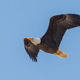 Bald Eagle 5488-022619 by Tam Ryan