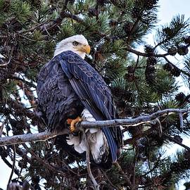 Bald Eagle at Wickiup Reservoir by Dana Hardy