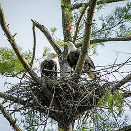 Bald Eagle Couple by Robert J Wagner