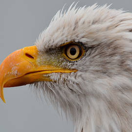 Bald Eagle - Detail by Richard Andrews