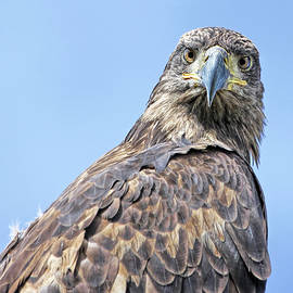 Bald Eagle Juvenile Stare by Jennie Marie Schell