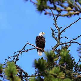 Bald Eagle Looking Regal