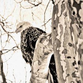 Bald Eagle Overhead by Francis Sullivan
