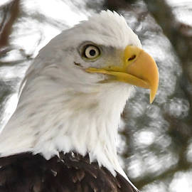 Michael Peychich - Bald Eagle Portrait 1277