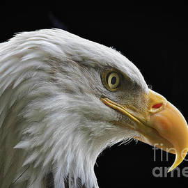 Bald Eagle Profile 3 by Mitch Shindelbower