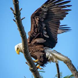 Bald Eagle by Robert J Wagner