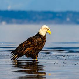 Bald Eagle staring at refelction by Judit Dombovari