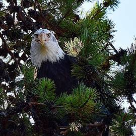 Bald Eagle Staring Contest by Dana Hardy