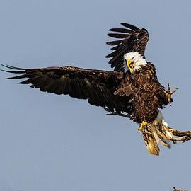 Bald Eagle with attitude by Dan Ferrin