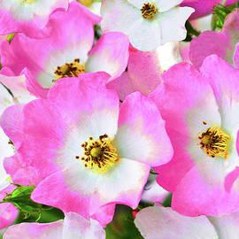 Ballerina Rose Blossoms by Regina Geoghan