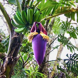 Banana Seed Pod by Norma Brandsberg