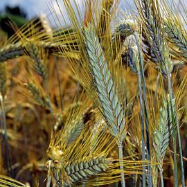 Barley spikes by Tibor Tivadar Kui