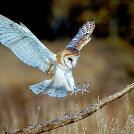 Barn Owl Landing by Judi Dressler