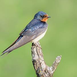 Barn Swallow 05 by Judy Tomlinson