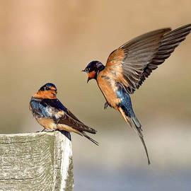 Barn Swallow Conversation by Judi Dressler