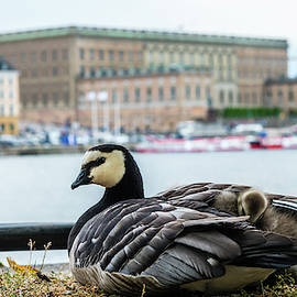 Barnacle Goose with her three goslings under her wing  by Torbjorn Swenelius