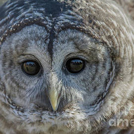 Barred Owl 7 by Chris Scroggins