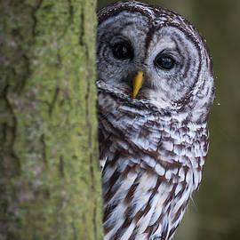 Barred Owl by David Hook