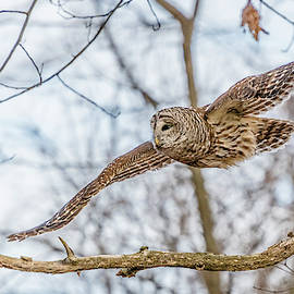 Barred Owl In Flight #2 by Morris Finkelstein
