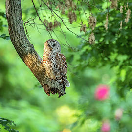 Barred Owl in Woods by Don Champlin