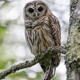 Barred Owl Of Acadia by Jesse MacDonald