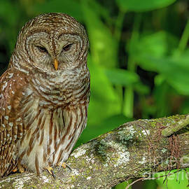 Barred Owl Perch by Dale Erickson