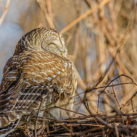 Barred Owl Roosting by Morris Finkelstein
