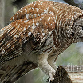 Barred Owl With Mouse by Jo Ann Gregg