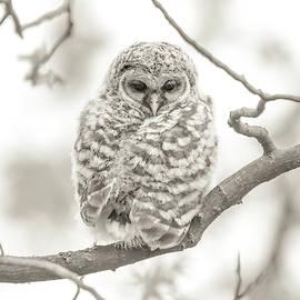 Barred Owlet Monochrome by Dan Sproul