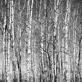 Barren Spring Birch Lebanon Hills Regional Eagan Minnesota  by Wayne Moran