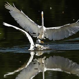 Battle of Great Egrets by Dan Ferrin