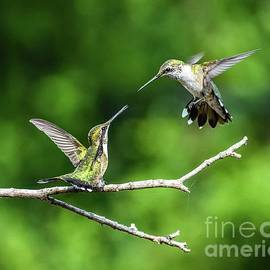 Battle Royal #4 - Ruby-throated Hummingbirds by Cindy Treger