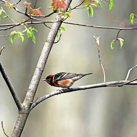 Bay Breasted Warbler by Debbie Oppermann