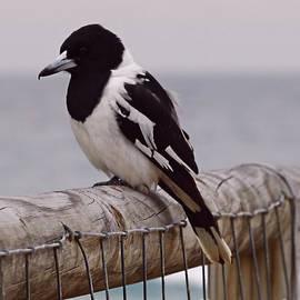 Beach Loving Magpie #2 by Trudee Hunter