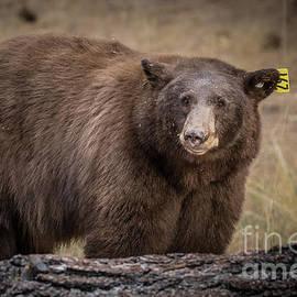 Bear 2019-10 by Webb Canepa