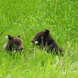 Bear Cubs Jasper National Park Alberta Canada by Art Sandi