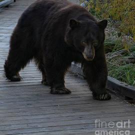 Bear in El Dorado National Forest, California by PROMedias Obray