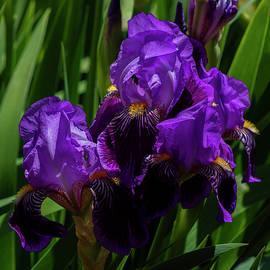 Bearded Iris by Denise Harty