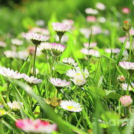 Beautiful bunch of daisy flowers blossoming in green grass by Gregory DUBUS
