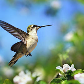 Christina Rollo - Beautiful Hummingbird In Flight