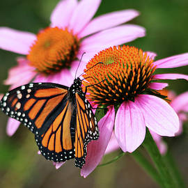Beautiful Monarch on Pink Coneflowers by Trina Ansel