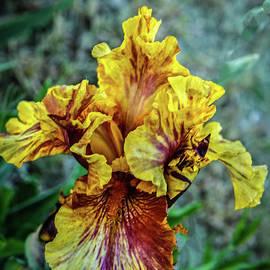 Beautiful  Multi Colored Iris by Robert Bales