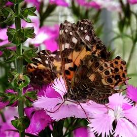 Beautiful Painted Lady Butterfly by Denise Mazzocco