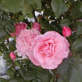 Beautiful Pink Roses by Paul - Phyllis Stuart