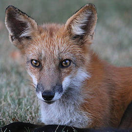 Beautiful Red Fox by Living Color Photography Lorraine Lynch