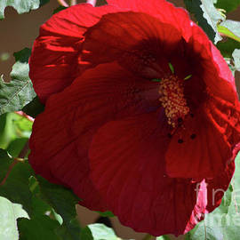 Beautiful Red Hibiscus Blooming  by Ruth Housley