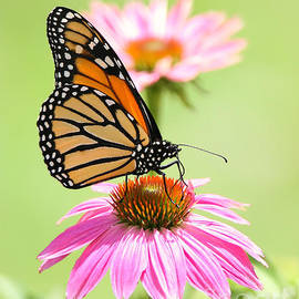 Beautiful Summer Monarch by Tina LeCour