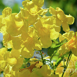 Beautiful Sunshine Blossoms  by Ruth Housley